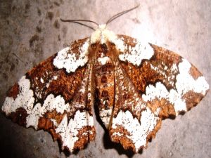 Giant Moth white and brown colored