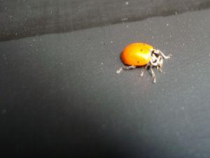 Small ladybug or ladybird