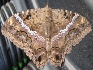 Giant moth with beautiful colors