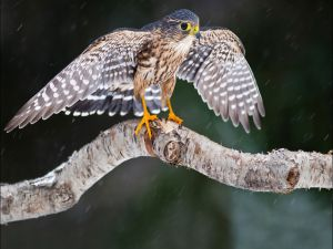 Little hawk under the rain