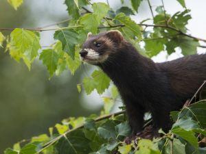Wild weasel