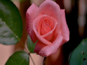 Rosebud with dew droplets