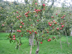 Apple tree full of apples