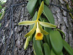 Vanilla flower (orchid)