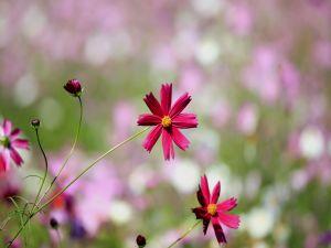 Garnet color wildflowers