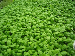 Basil, an aromatic herb