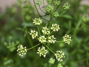 Flowerets of the parsley plant