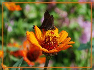 Black butterfly on orange flower