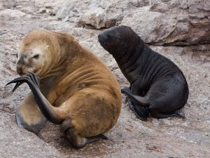 Sea lions at a colony in Patagonia