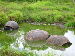 Three big turtles in a pond