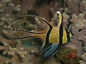 Tropical fish with black stripes and white dots