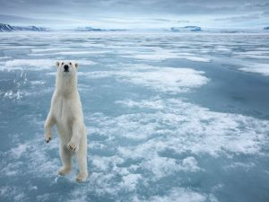 Polar bear standing on a frozen sea