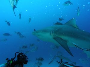 Diving among sharks