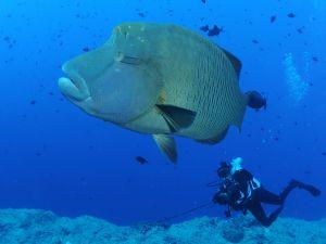 Diver beside a huge fish