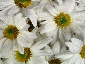 Daisies with dew droplets