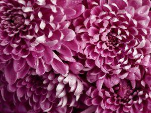 Dahlias of garnet color