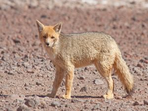 Culpeo zorro or Andean fox