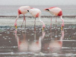 Group of James's Flamingos at Laguna Hedionda, Bolivia