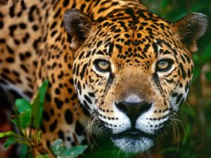 The intense gaze of the leopard