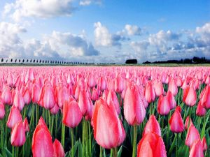 Pink tulips recently watered