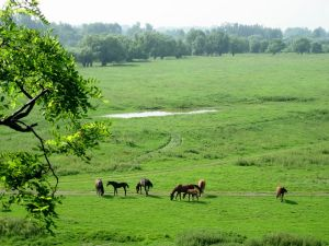 Horses grazing in a meadow in Opatowiec (Poland)
