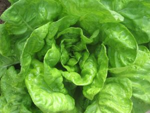 A fresh and green lettuce