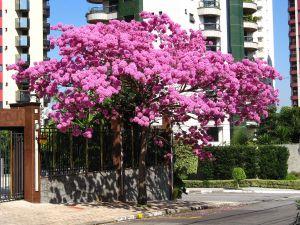 Pinkish tabebuia in bloom