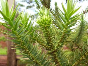 Araucaria angustifolia leaves