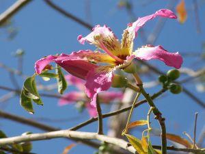 Ceiba speciosa flower