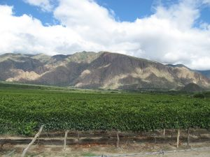 Vineyard near to Cafayate (Salta, Argentina)