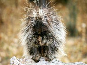 Small porcupine