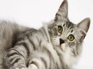 Attentive gray cat