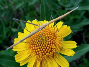 Stick bug on a yellow flower