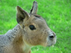 Head of a Patagonian hare