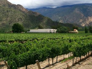 Vineyard near Cafayate, province of Salta (Argentina)