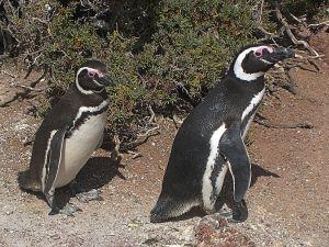 Magellanic penguins at Punta Tombo (Chubut, Argentina)