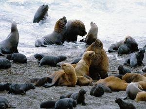 Sea Wolves (Peninsula Valdes, Patagonia, Argentina)