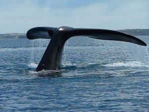 Tail of a whale near of Valdes Peninsula (Argentina)
