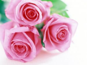 Three delicate pink roses