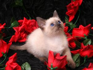 Siamese cat between red roses