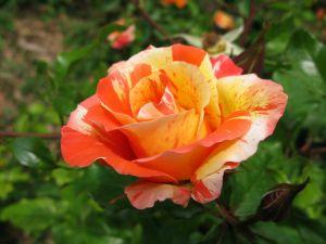 Rose mottled in orange tones