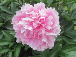 Peonia fully opened