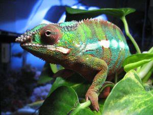 Chameleon of greenish tones