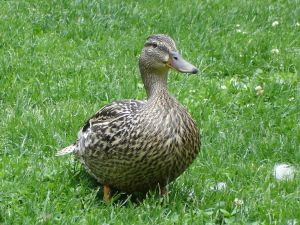 Duck with mottled plumage