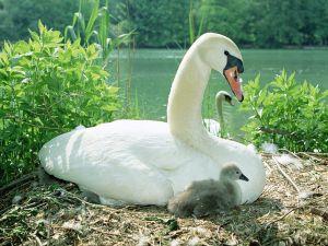 Mom swan