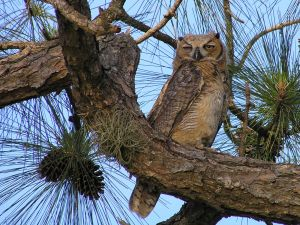 Owl in the trunk of a pine