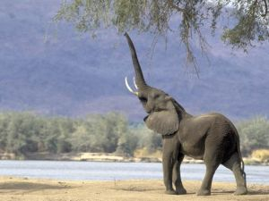 Elephant with trunk raised