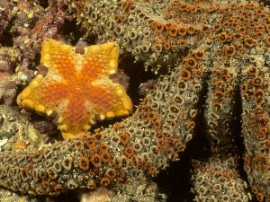 Starfishes of golden colour