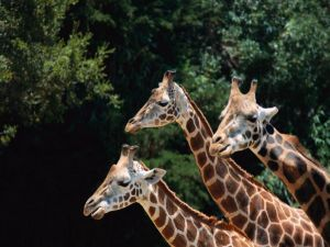 Trio of giraffes