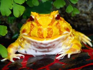 "Cranwell's horned frog (Ceratophrys cranwelli) or ""Pacman frog"""